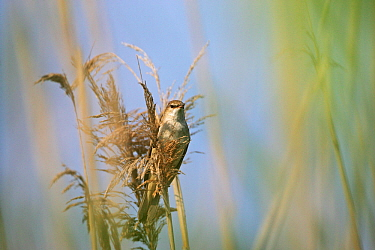 Great reed warbler (Acrocephalus arundinaceus) perched in Common reed (Phragmites australis) in marshland near Tiszaalpar, Hungary, June.