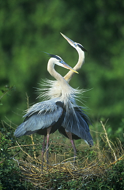 Great blue heron {Ardea herodias} pair in courtship display on nest, Texas, USA