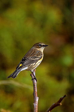 Yellow rumped warbler,  (Dendroica coronata) Long Island, NY USA. Autumn