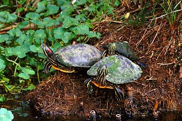 Red eared turtles (Pseudemys scripta elegans)
