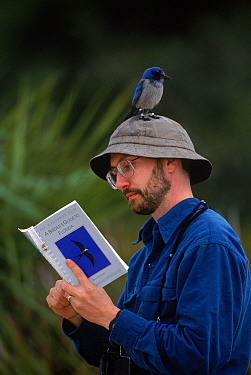 Scrub jay {Aphelocoma coerulescens} on birdwatcher's head, NB reference book, Florida, USA