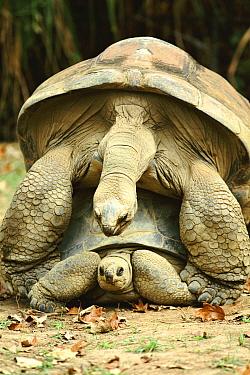 Aldabra tortoises mating {Geochelone gigantea} Aldabra Zoo, Seychelles captive
