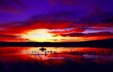 Snow geese at sunset {Chen caerulescens} Bosque del Apache, NM, USA.