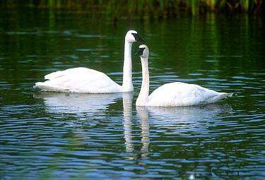 Trumpeter swans, Denali NP, Alaska, USA