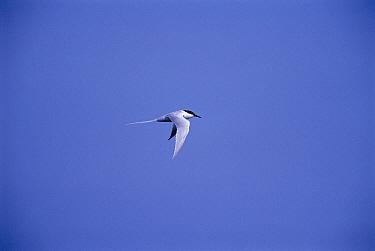 Roseate tern in flight {Sterna dougallii} Long Island, USA
