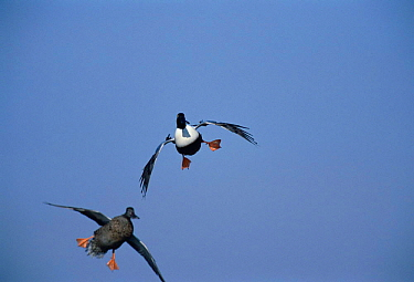 Northern shoveler duck pair landing {Anas clypeata} Tucson, Arizona, USA