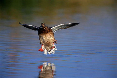 Northern shoveler duck {Anas clypeata} female landing on water Arizona, USA