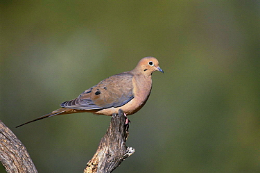 Mourning dove {Zenaida macroura} Tucson, Arizona, USA
