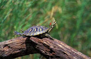 Red eared turtle basking {Pseudemys scripta elegans} Texas, USA Rio Grande valley