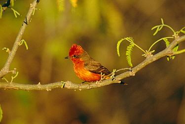 Vermilion flycatcher portrait {Procephalus rubinus} Arizona, U