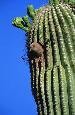 Gila woodpecker female at nest in Saguaro cactus. Arizona, USA {Melanerpes uropygialis}