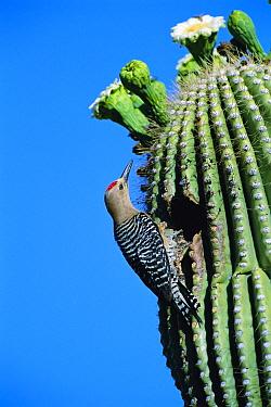 Gila woodpecker male at nest in Saguaro cactus. Arizona, USA {Melanerpes uropygialis}