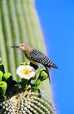 Gila woodpecker male on Saguaro cactus flower + pollen. Arizona , USA {Melanerpes uropygialis}