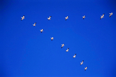 Snow geese fly in V formation {Chen caerulescens} Bosque del Apache, NM, USA.