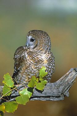 Mexican spotted owl {Strix occidentalis lucida} captive, rehabilitation centre, USA
