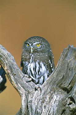 Northern pygmy owl portrait {Glaucidium gnoma} captive, raptor rehab centre