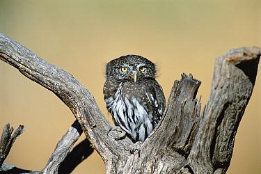 Northern pygmy owl {Glaucidium gnoma}  NM, USA