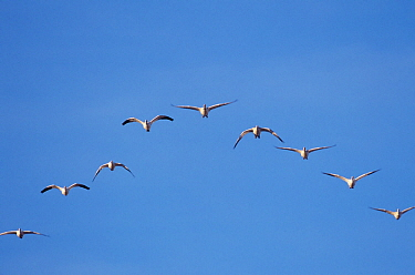 Snow geese {Chen caerulescens} flying in formation, Bosque del Apache, New Mexico, USA.