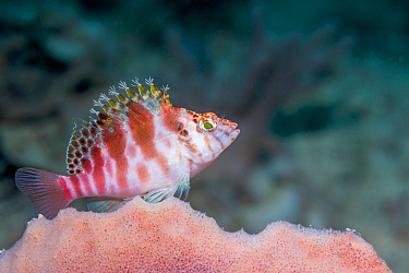 Threadfin hawkfish (Cirrhytichthys aprinus). West Papua, Indonesia. Indo-West Pacific.