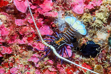 Painted spiny lobster (Palinurus versicolor) juvenile. West Papua, Indonesia. Indo-West Pacific.