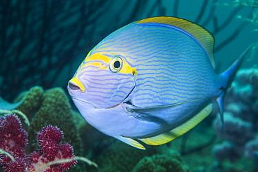 Elongate surgeonfish (Acanthurus mata). West Papua, Indonesia. Indo-West Pacific.