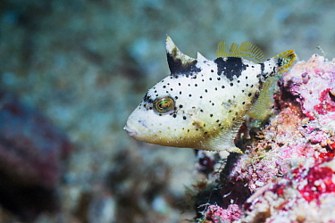 Yellowmargin triggerfish (Pseudobalistes flavimarginatus) juvenile, West Papua, Indonesia. Indo-West Pacific.
