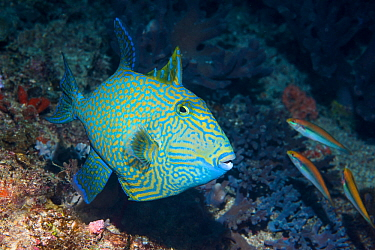 Blue or Rippled triggerfish (Pseudobalistes fuscus). West Papua, Indonesia. Indo-West Pacific.