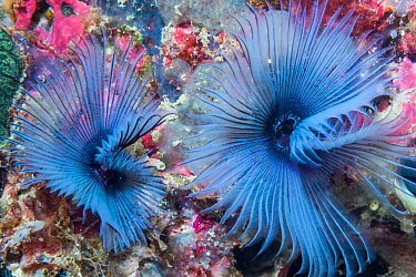 Fan worm (Sabella sp) West Papua, Indonesia. Indo-West Pacific.