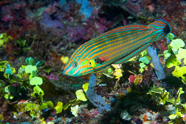 Tail-spot wrasse (Halichoeres melanurus). West Papua, Indonesia. Indo-West Pacific. Popular in the aquarium trade.