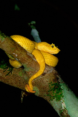 Yellow Eyelash viper {Bothrops schlegeli} Tortugero NP, Costa Rica