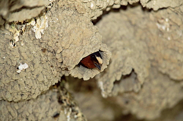 American cliff swallow in mud nest {Hirundo / Petrochelidon pyrrhonota} Utah, USA