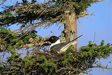 Bonapartes gull {Chroicocephalus philadelphia} sitting in nest in a conifer tree, USA.