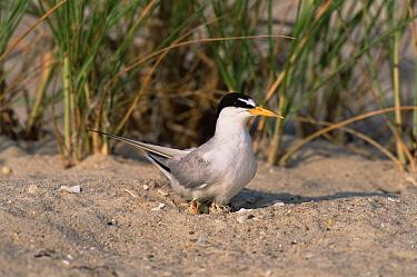 Least tern {Sternula antillarum} on nest, Long Island, USA.