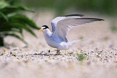 Least tern {Sternula antillarum} stretching wings on the beach, Long Island, USA.
