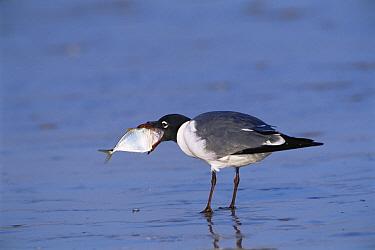 Laughing gull {Leucophaeus atricilla} swallowing large fish, Texas, USA.