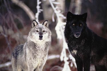 Grey wolves showing fur colour variation. (Canis lupus)