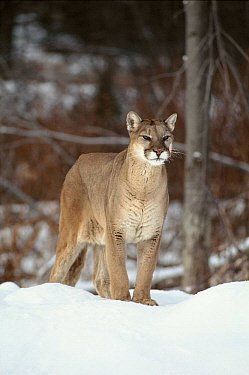 Puma in snow. Montana, USA. Captive animal