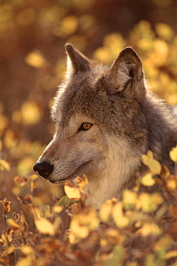 Portrait of grey wolf, USA