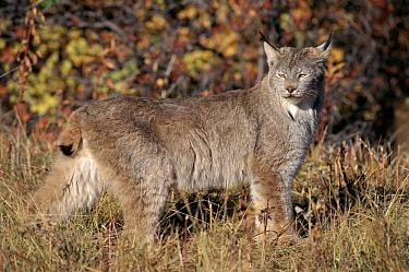 Lynx in Montana, USA. Captive animal