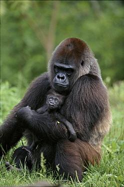 Lowland gorilla mother & baby. Pittsburg Zoo, USA