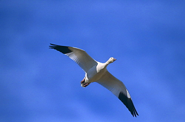 Snow goose {Chen caerulescens} in flight, Bosque del Apache, NM, USA