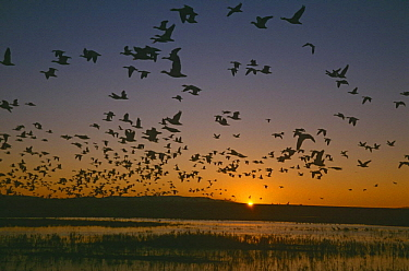 Flock of Snow geese {Chen caerulescens} in flight at sunset, Bosque del Apache, NM, USA