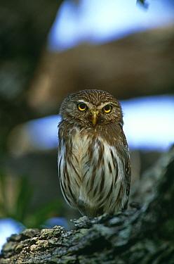 Ferruginous pygmy owl {Glaucidum brasilianum} perching on branch, Texas, USA.