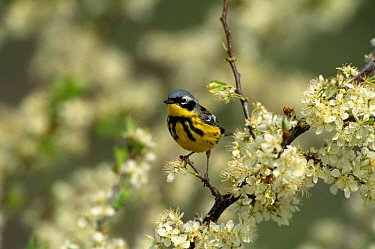 Magnolia Warbler {Dendroica magnolia} perching on branch in blossom, Long Island, NY, USA.
