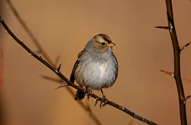 White crowned Sparrow {Zonotrichia leucophrys}, Bosque del Apache, NM, USA.