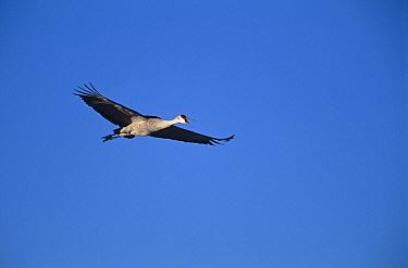 Sandhill Crane {Grus canadensis} calling in flight, Bosque del Apache, NWR, NM, USA.