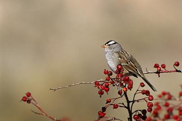 White Crowned Sparrow {Zonotrichia Leucophrys} Bosque del Apache, NM, USA.