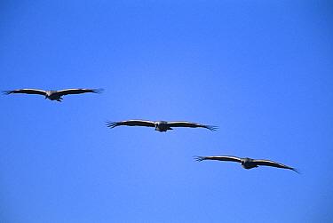 Three Sandhill Cranes {Grus canadensis} in flight, Bosque del Apache, NWR, NM, USA.