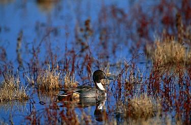 Pintail duck {Anas acuta} profile in wetlands, Bosque del Apache NWR, NM, USA.