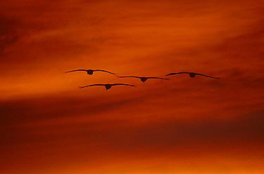 Four Sandhill Cranes {Grus canadensis} in flight at sunset, Bosque del Apache, NWR, NM, USA.